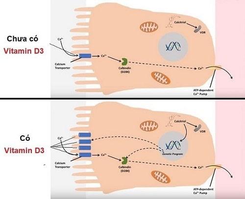 Canxi chứa vitamin D3