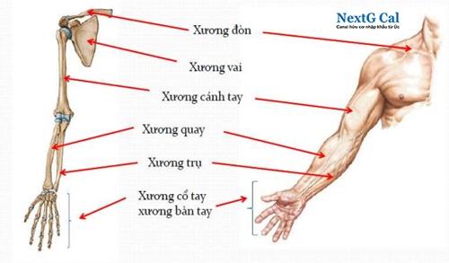 Xương cánh tay là xương gì