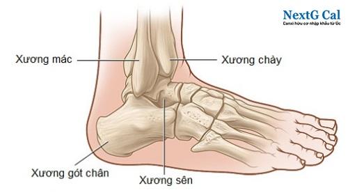 Cấu tạo xương cổ chân